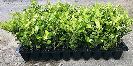 Japanese Boxwood Qty 60 Live Plants Buxus Fast Growing Cold Hardy Evergreen