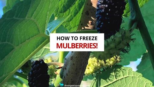 How to Freeze Mulberries