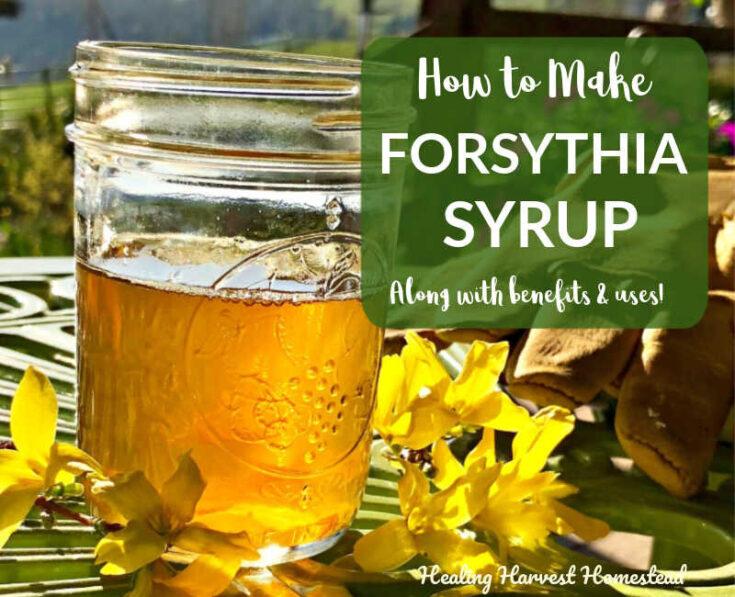 How to Make Forsythia Syrup: A Golden Foraged Springtime Delight! — Home Healing Harvest Homestead